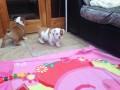 engelse-puppys-van-uitstekende-kwaliteit-klaar-voor-een-nieuw-huis-small-1