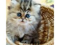 2-beaux-chatons-persan-a-donner-small-1