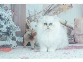 2 beaux chatons persan à donner