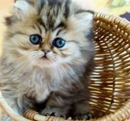 2-beaux-chatons-persan-a-donner-big-1